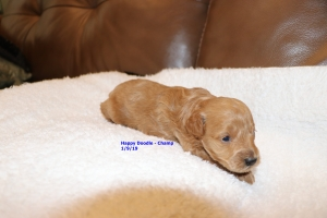 Champ - Apricot, lightest color of the litter