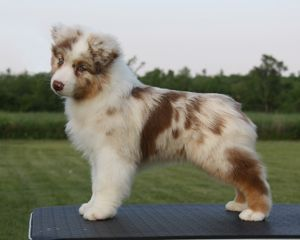 Australian Shepherd and puppy