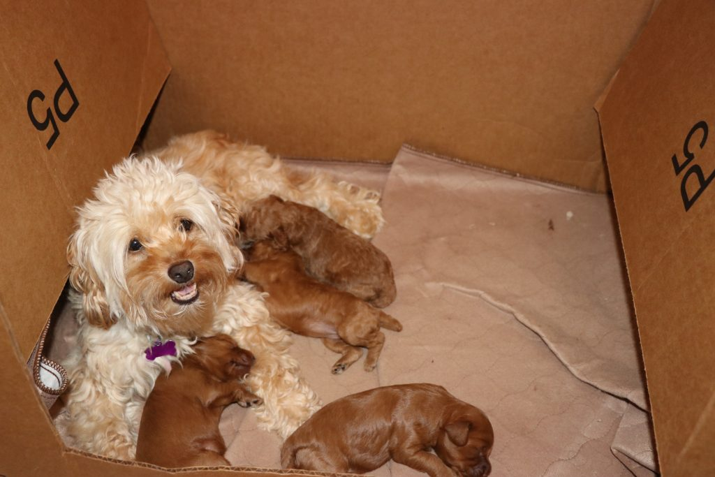 Cockapoo Puppies for Sale NJ – Happy Doodles Place